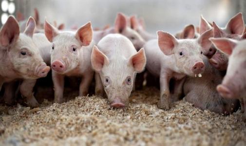 В Мурованокуриловецькому районі знято карантин по африканській чумі свиней