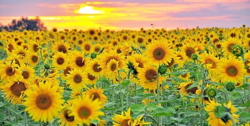 Прогноз фітосанітарного стану та рекомендації щодо захисту сільськогосподарських рослин в господарствах області в липні 2019 року