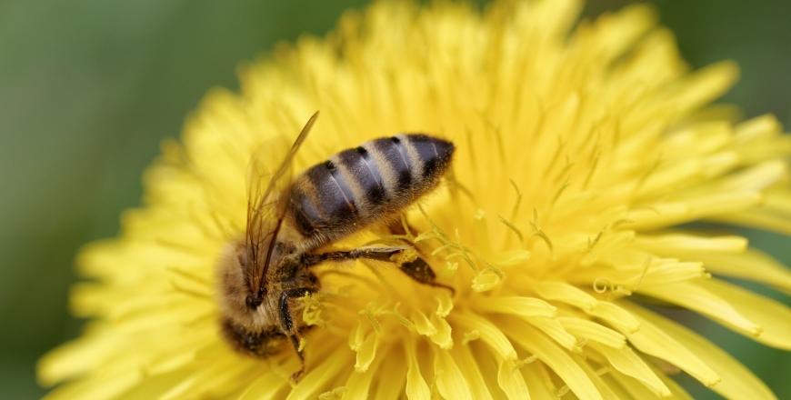 Протруєння насіння та отруєння бджіл – чи існує зв'язок?